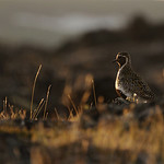 Golden plover and evening light, Iceland