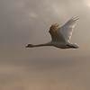Mute swan in flight, Islay