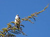 WHITE-TAILED KITE 1