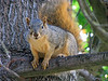 SQUIRREL, WOODWARD PARK, FRESNO, CA