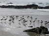SAND PIPERS, CAYUCOS