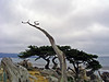 GHOST TREE, MONTEREY