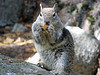 GRAY SQUIRREL, YOSEMITE VALLEY