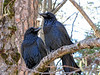 RAVENS AT VALLEY VIEW, YOSEMITE VALLEY