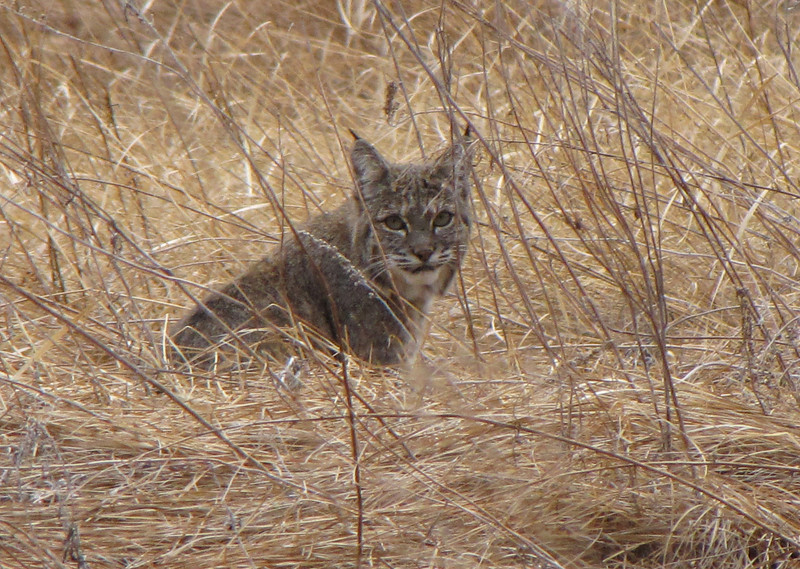 BOBCAT IN SENTINEL MEADOW, YOSEMITE VALLEY