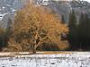 YG8-17 COOK'S MEADOW ELM TREE