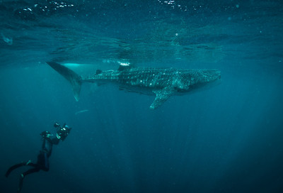 Whale Sharks of Qatar