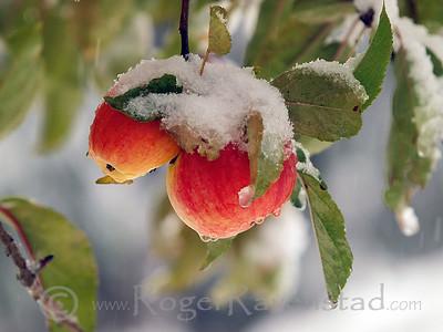 Sierra Apples Image I.D. #:  M-10-###
