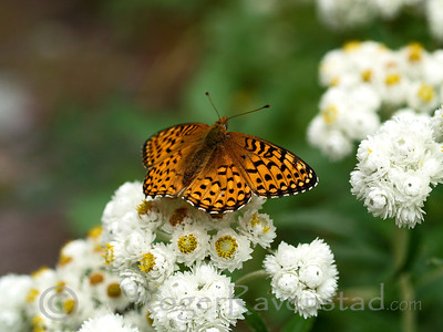 Fritillary Butterfly Glacier National Park Image I.D. #:  M-08-008