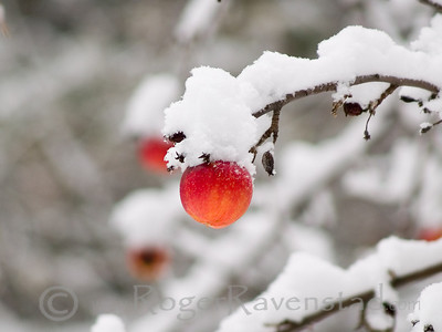 Frosted Apple Image I.D. #:  M-08-001