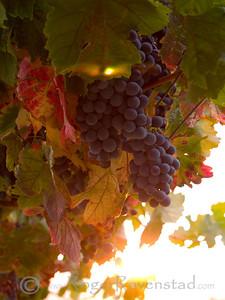 Livermore Harvest Image I.D. #:  V-07-001