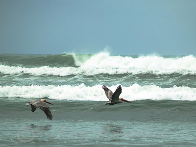 Pelicans at Baja