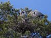 Great Blue Heron couple repairing nest after spring storm.