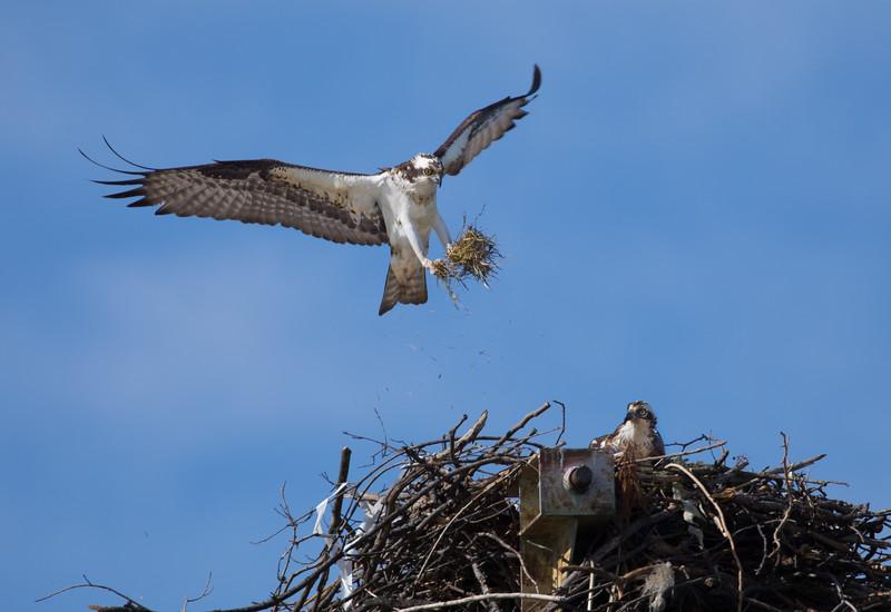 Osprey delivering nest material.