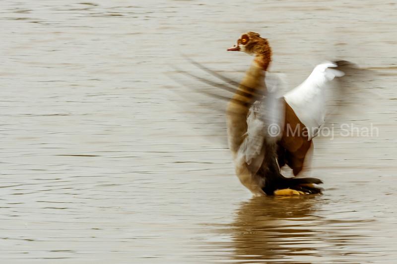 Egyptian Goose drying its wings in Masai Mara