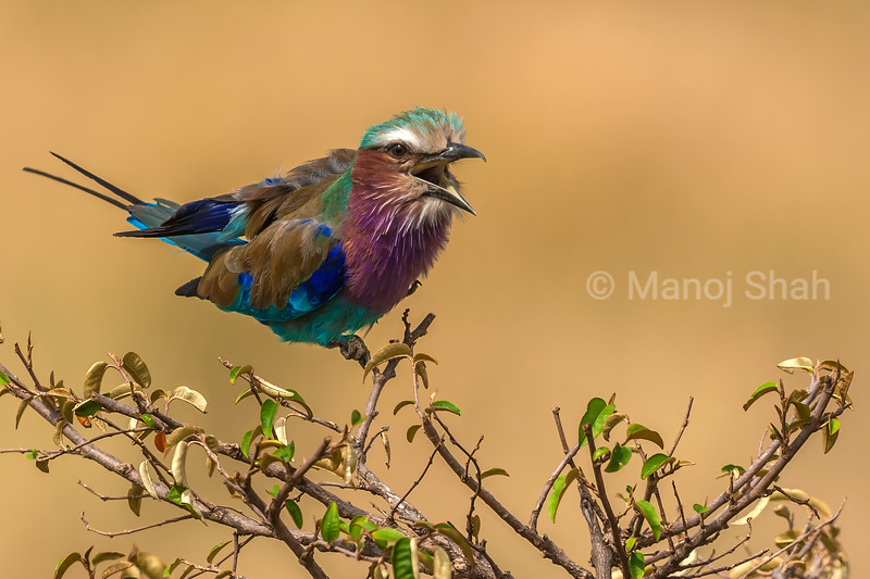 Lilac Breasted Roller calling out in Masai Mara.