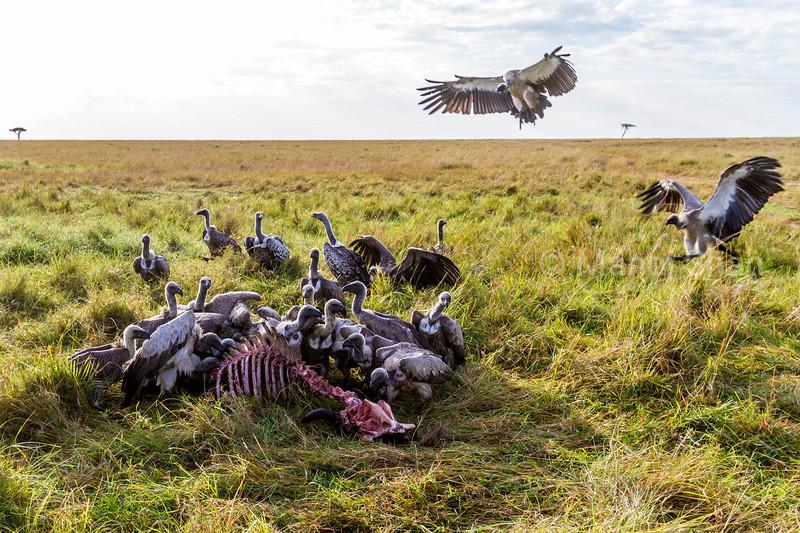 Vultures feeding on a wildebeest kill in Masai Mara.