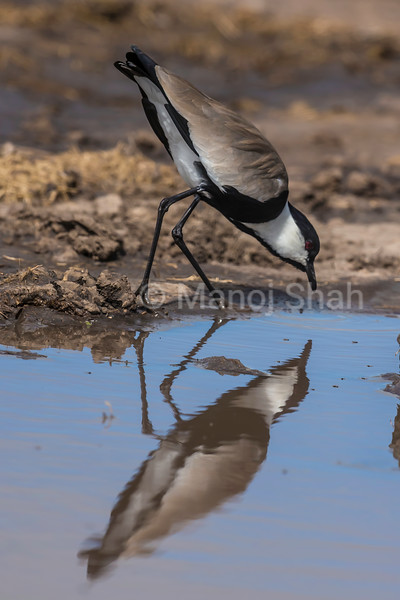 Spur-Winged Plover wading in water in Masai Mara