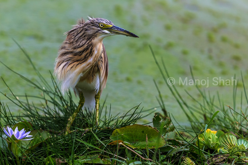 Squacco Heron In Amboselli National Park,