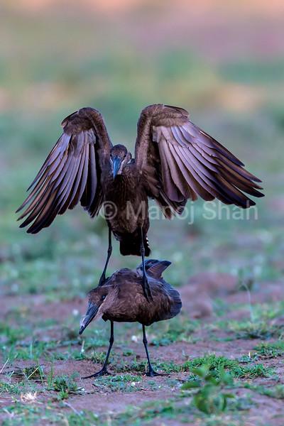 Hammerkops courting