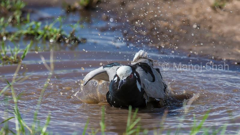Spur-Winged Plove bathing  in water in  Masai Mara.