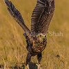 Tawny Eagle about to take flight.