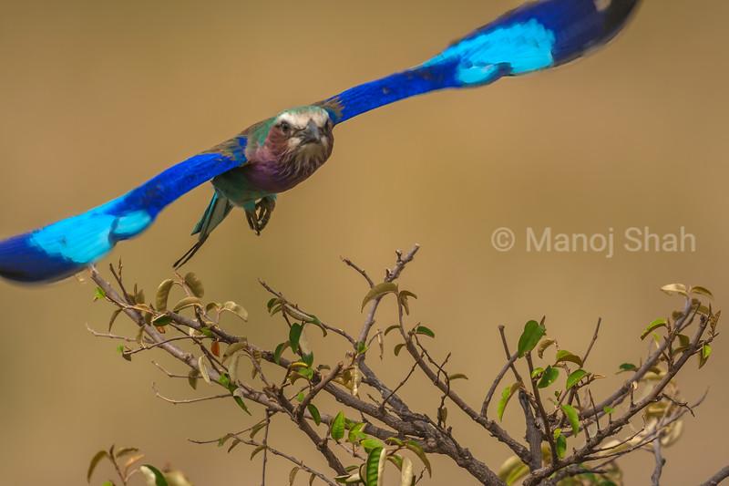 Lilac Breasted Roller in flight  in Masai Mara.