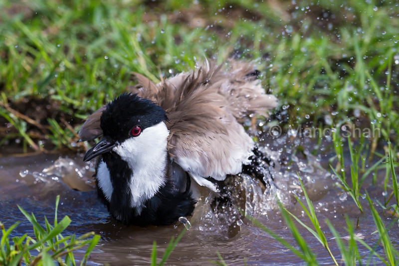 Spur-Winged Plover having a bath in a small pool of water, Masai Mara, Kenya