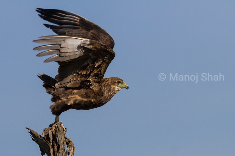 Tawny Eagle starting flight
