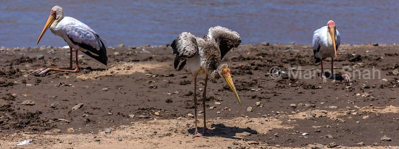 Yellow billed storks on Mara River bank in Masai Mara.