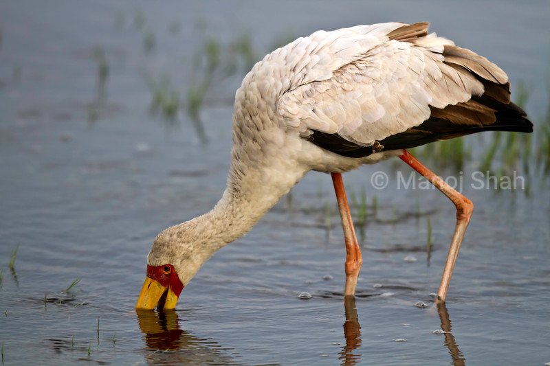Yellow- Billed Stork