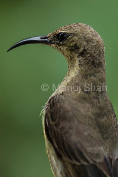 Female Amethyst Sunbird