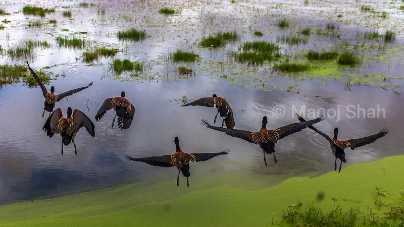 White faced tree ducks in Amboseli National Park marsh.
