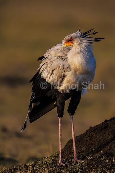 Secretary bird in early morning light.