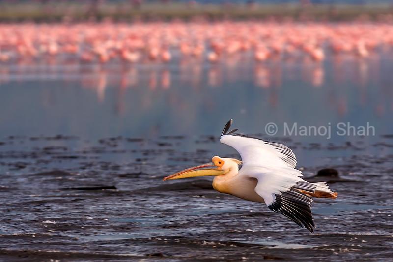 White Pelican in fight in Lake Nakuru full of flamingos.