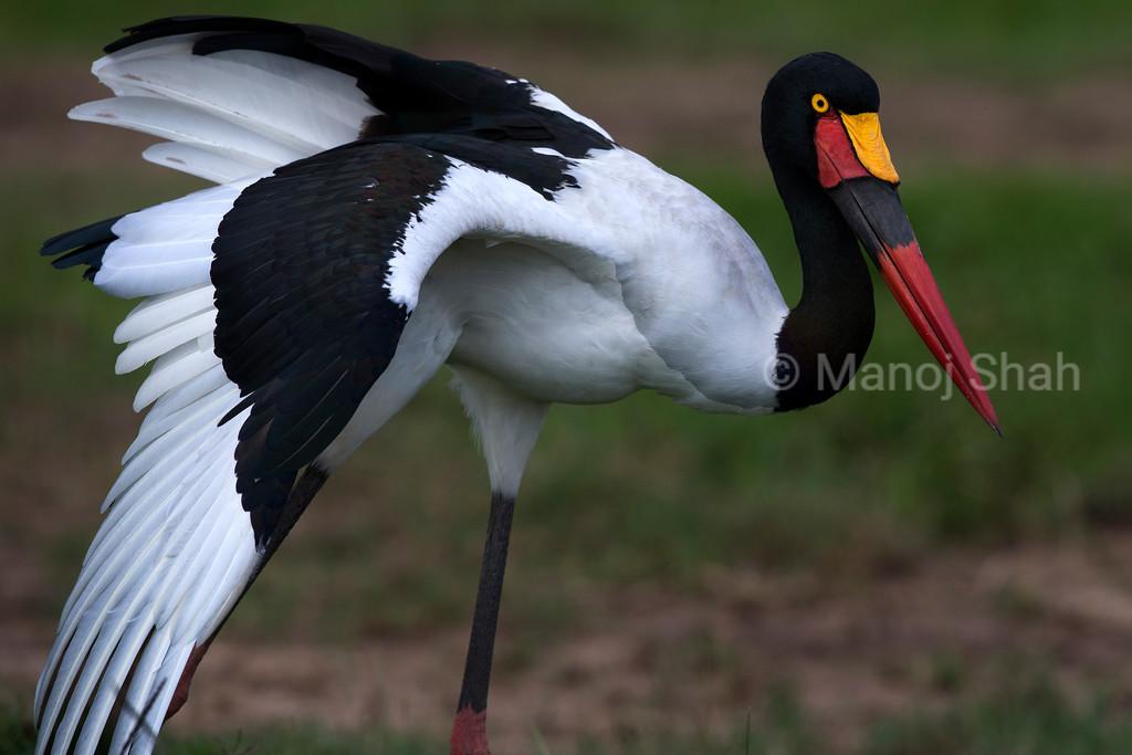Saddlebill stork.