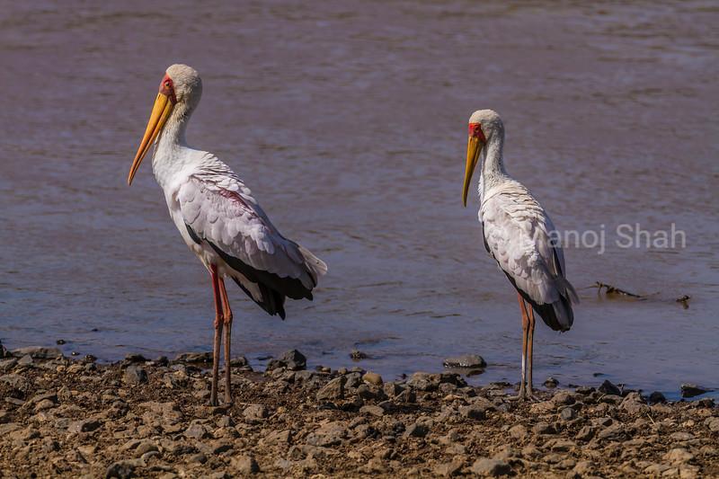 Yellow- billed storks at the Mara River in Masai Mara.