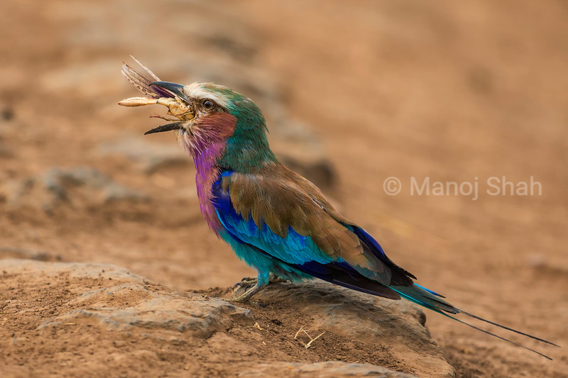 Lilac Breasted Roller catching a grasshopper