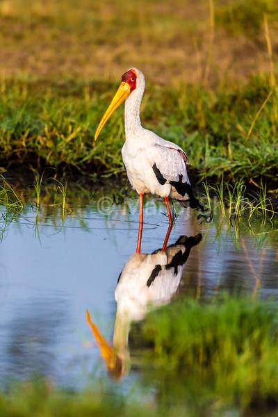 Yellow-Billed Stork fishing