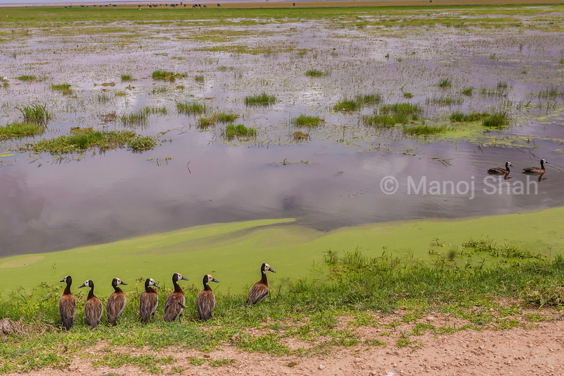 White-Faced Tree Ducks at the marsh In Amboselli National Park