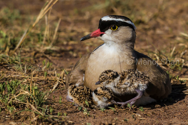 Crowned Plover with new born chicks
