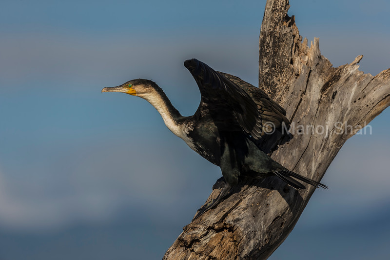 African Darter making a move to fly off in Lake Bogoria.