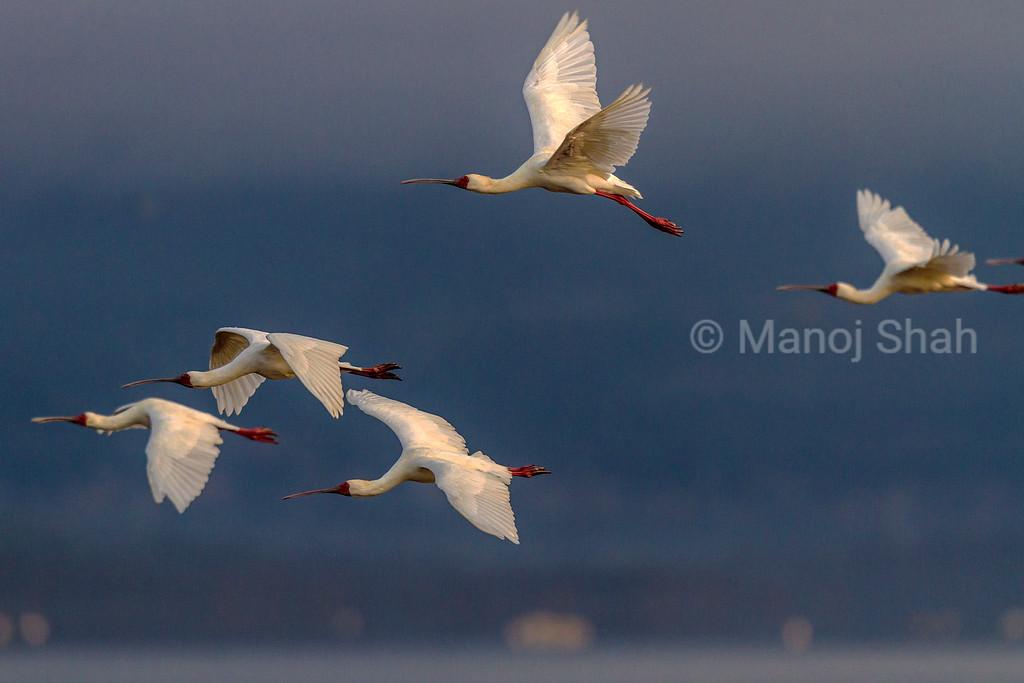 Yellow billed storks in flight over Lake Nakuru