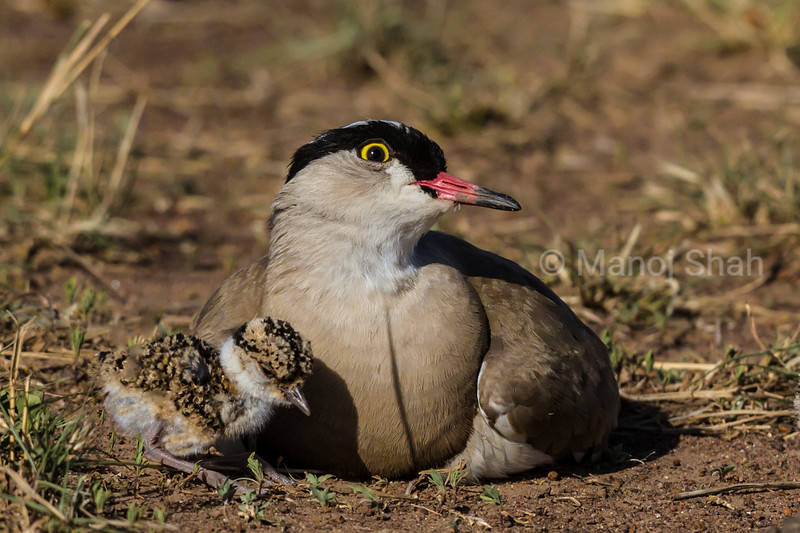 Crowned Plover with new born chick