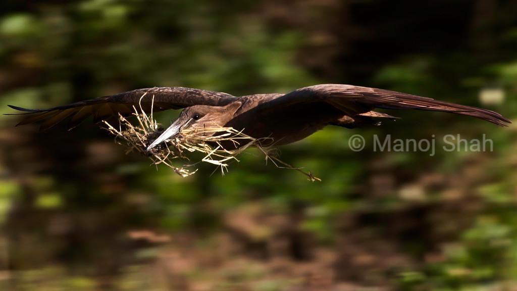 Hamerkop building nest