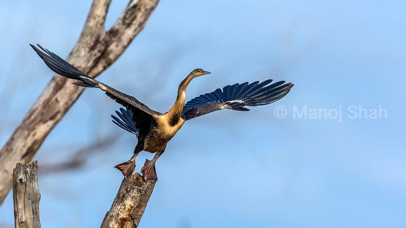Grey heron taking off from a tree in Lake baringo.
