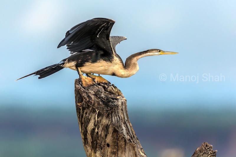 Grey Heron preparing to take off in Lake Baringo, Kenyam
