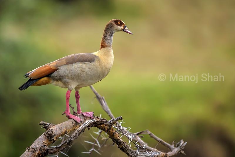 Egyptian tree duck in Masai Mara.