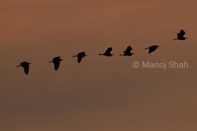 Little Egrets flight