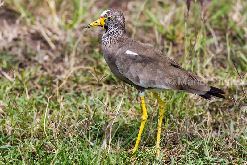 Wattled Plover looking for grass seeds an insects in Masai Mara.